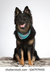 Bohemian shepherd dog portrait. The breed is also known as Czech sheepdog or Bohemian herder. Image taken in a studio with white background.