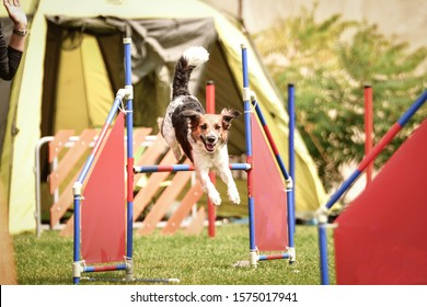 Bohemian Spotted Dog is jumping over the hurdles. Amazing day on czech agility competition.