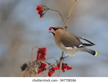 Bohemian waxwing  Bombycilla garrulus feeding on red berries with one in beak. Soft winter light, blue background.