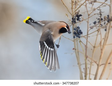 Bohemian waxwing Bombycilla garrulus feeding on black berries with one in beak and outstretched wings.. Soft winter light, blue background.
