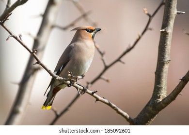 Bohemian Waxwing (Bombycilla garrulus) perched on a tree branch during spring