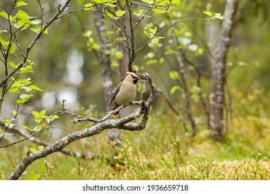 The Bohemian waxwing (Bombycilla garrulus) perched on the birch branch in Finnish nature