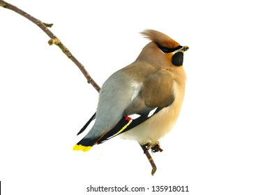 Bohemian Waxwing (Bombycilla garrulus) sitting on a twig isolated on white