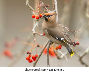 The Bohemian waxwing (Bombycilla garrulus) is a starling-sized passerine bird that The Bohemian Waxwing is an irregular winter visitor from the far North.