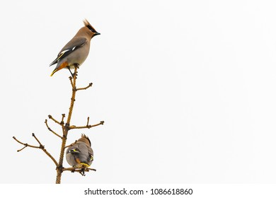 Bohemian Waxwing in a pine tree under bright grey sky with copy