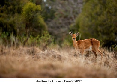 Bohor reedbuck, Redunca redunca,  rare endemic, mountaneous antelope in its natural environment. Wildlife of Bale Mountains NP,  travel and photography in Ethiopia.