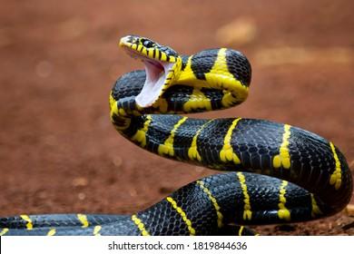 Boiga snake dendrophila yellow ringed, Head of Boiga dendrophila, animal closeup, animal attack
