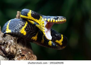 Boiga snake dendrophila yellow ringed ready to attack, Head of Boiga dendrophila, animal closeup