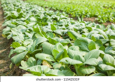 bok choi field in the countryside