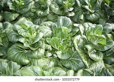 Bok Choy field in Arizona.  Also called pak choi.  It is a Chinese cabbage.
