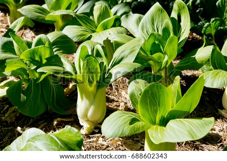 Bok Choy Plants Growing Vegetable Garden Stock Photo Edit Now