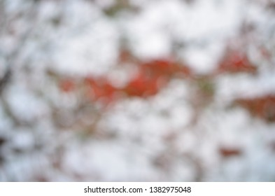 """Bokeh background of Delonix regia, a species of flowering plant, fern-like leaves and flamboyant display of flowers, aka, Royal Poinciana, Flamboyant, flame of the forest, or """"flame tree"""""""