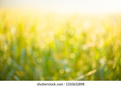 Bokeh background, rice fields, bright green