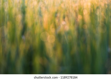 bokeh background yellow and gold and green In the morning sun
