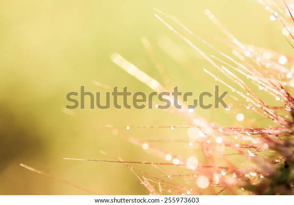 Bokeh Blur and soft focus of grass flower with water drops in morning light