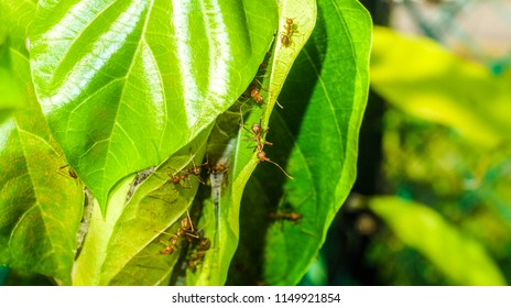 A bokeh picture of weaver ants troop taken in the farm. Weaver ants prey on small insects and supplement their diet with carbohydrate-richhoneydew excreted by small insects