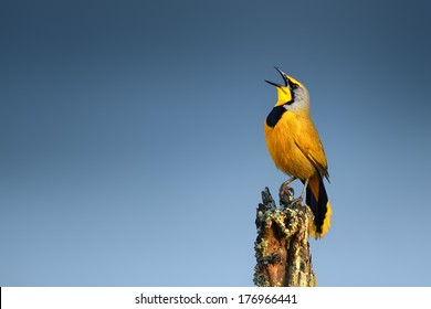Bokmakierie bird calling - Telophorus zeylonus - South Africa