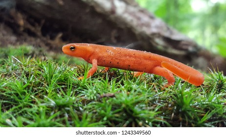 A bold, bright colored red eft Eastern newt walks through the forest floor.