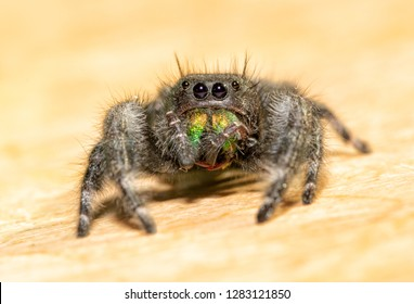 Bold Jumping Spider grooming his chelicerae and fangs with his pedipalps