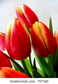 bold tulips