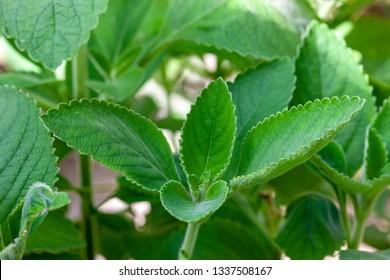 Boldo: Green plant named Boldo da Terra in Brazil. Plant used to make tea e produtos medicinais