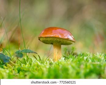 Bolete mushroom in autumn forest