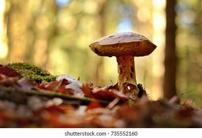 boletus edulis in the autumn forest