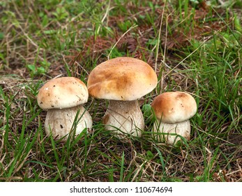 Boletus edulis or cep. Three mushrooms in the forest
