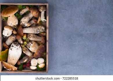 Boletus edulis, cepe, porcini mushrooms unwashed on gray concrete background, tasty food from forest, autumn menu