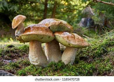 Boletus edulis - edible mushroom. Small boletus growing on the boletus's cap. Fungus in the natural environment. English: penny bun, porcini, cep, porcino, king bolete