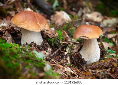 Boletus edulis, edible mushrooms with excellent taste