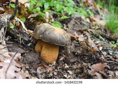 Boletus mushroom (Boletus aereus) in the forest. King mushroom, dark cep or bronze bolete