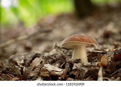 Boletus reticulatus. Edible mushrooms with excellent taste. Bio food. Uncultivated  fungi.