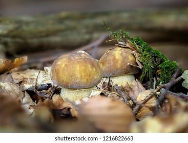 Boletus reticulatus (formerly known as Boletus aestivalis (Paulet) Fr.), and commonly referred to as the summer cep. Two edible and tasty mushrooms under the leaves. Autumn mushroom atlas.
