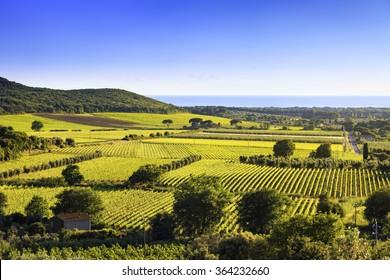 Bolgheri and Castagneto vineyard and Elba island on background. Maremma Tuscany, Italy, Europe.