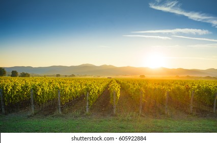 Bolgheri and Castagneto vineyards sunrise backlight in the morning. Maremma Tuscany, Italy, Europe.
