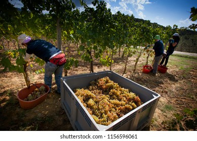 Bolgheri, Tuscany, Italy - harvest and care of the vineyards of the denomination of controlled origin of the Bolgheri red and white wines