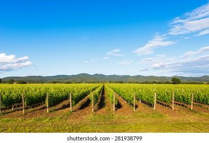 Bolgheri vineyard and hills on background. Maremma Tuscany, Italy, Europe.