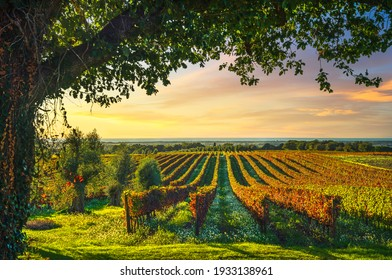 Bolgheri vineyard, olive trees and flowers at sunset. Tree as a frame, autumn season. Landscape in Maremma, Tuscany, Italy, Europe.