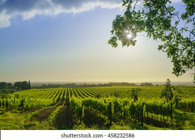 Bolgheri vineyard and sea on background. Maremma Tuscany, Italy, Europe.