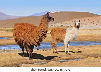 Bolivia, Llama, Female Llama with her Male Cria.