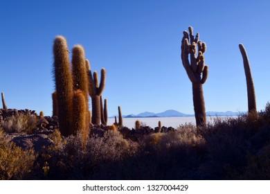 Bolivia, salar of Uyuni, cactus of the island Incahuasi at sunset