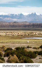 Bolivian Altiplano lama in front of the andes, Bolivia