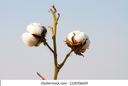 The boll of the cotton crop in the Egypt