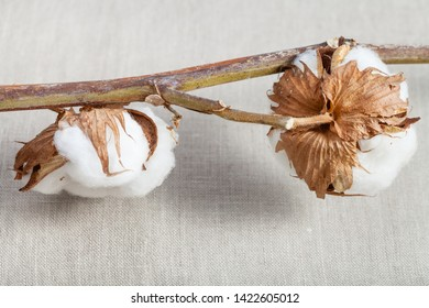 bolls on natural dried twig of cotton plant on cotton fabric background