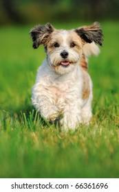 Bolonka Zwetna Zwetnaya runs happily above the meadow Russian Dog Bichon Frise
