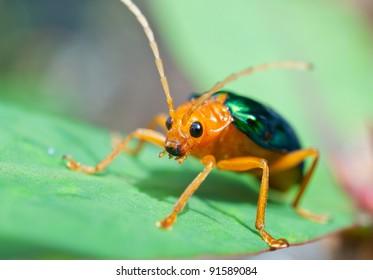 Bombardier Beetle (Brachinus alternans )