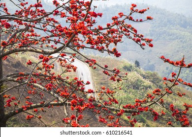 Bombax ceiba tree with red flower blooming in the sunlight of spring