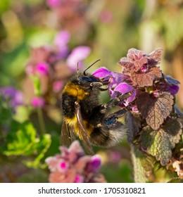 Bombus hortorum, the garden bumblebee or small garden bumblebee, is a species родини Apidae found in most of Europe. garden bumblebee on Lamium purpureum flower.