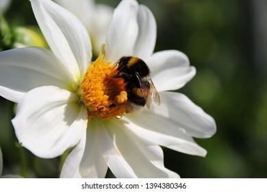 Bombus Latreille and white Dalia (Dahlia)